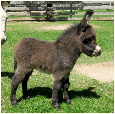 2016 Frenchie foal 006